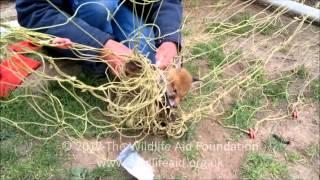 Fox cub nearly strangled by football net