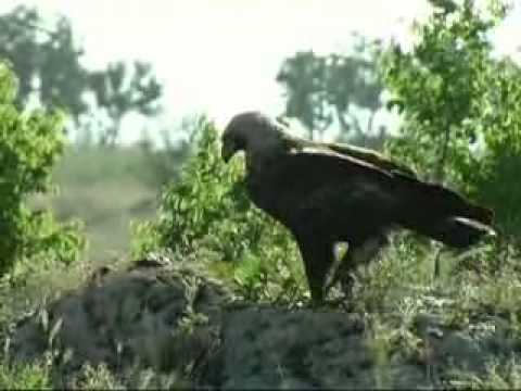 The Imperial Eagle in Bulgaria