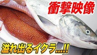 【衝撃映像】鮭のパンパンに膨れたお腹を切ったら大量のイクラが出てきたwww【24時間キッチン生活/完結編】