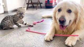 Golden Retriever Steals and Destroys Kitten Toy