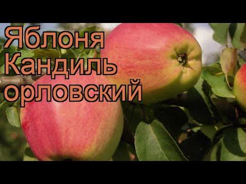 Яблоня обыкновенная Кандиль орловский (malus) 🌿 обзор: как сажать, саженцы яблони Кандиль орловский