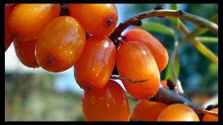 видео Облепиховый чай: рецепт чая с облепихой, польза и вред, как его приготовить