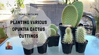 Planting Various Opuntia Cuttings (Tips on Potting up Cactus)