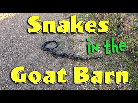 Snakes in the Goat Barn!
