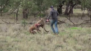 Мужик дерётся с кенгуру!