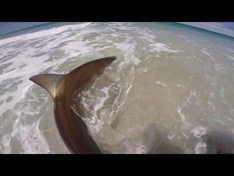 9 Foot Bronze Whaler Shark Caught Off The Beach