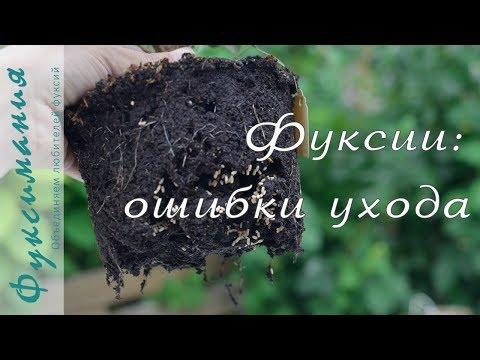 Вопрос: От чего листья у фуксии сворачиваются?