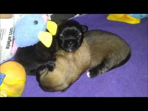 Tibetan Spaniel - Siriellas C - litter - Two weeks old puppies
