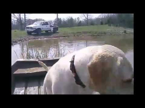 Labrador, Sunny, goes hunting (humor)