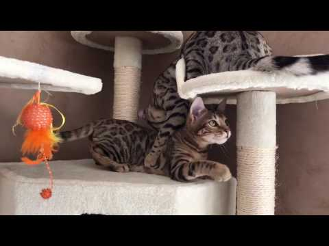 Bengal cats brown & silver