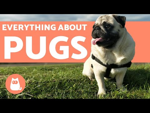 Everything You Need to Know About Pugs - Characteristics and Care