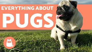 Everything You Need to Know About Pugs  Characteristics and Care