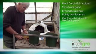 Planting Dutch Iris Bulbs - Intelligro
