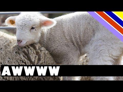 Funny Little Lamb - Gallops down the hallway