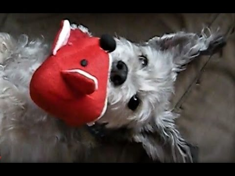 My Cairn Terrier Sugar Bear Has A New Toy