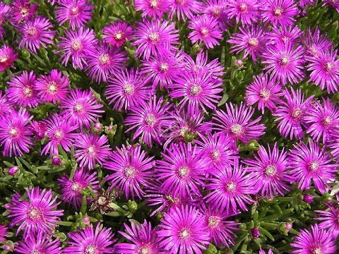 Aptenia makes a colorful ground cover youtube aptenia makes a colorful ground cover mightylinksfo