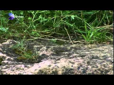 LIBELULAS  - CAZADORES DEL AIRE