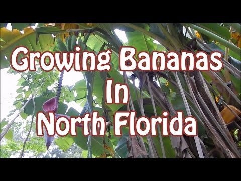 How To Grow Bananas In North Florida