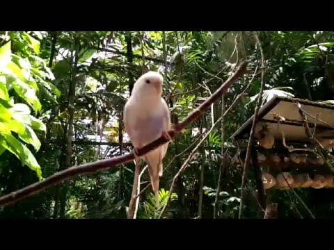 White & yellow parrot a funny video in Langkawi birds park Malaysia
