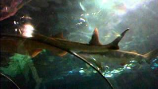 Sick Saw Shark