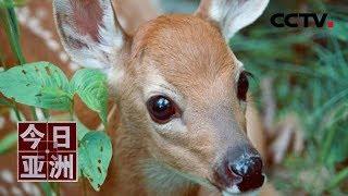 [今日亚洲]速览 虚惊!警方围捕入侵者 发现只是一头鹿| CCTV中文国际