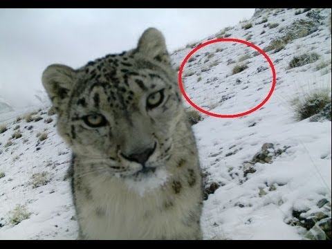 Rare Snow Leopard Captured In Northern Pakistan Pakvim Net