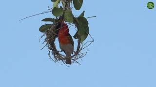 Moment of the Week: Red-headed weaver builds a nest