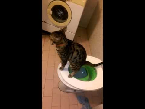 The loudest cat fart :) BOOM Bengal cat (Bandit) try not to laugh