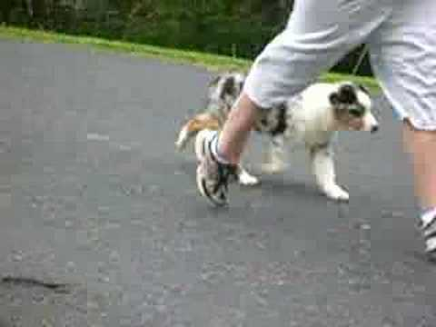 Australian Shepherd confirmation training