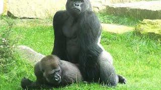 Sexe : comment font les gorilles ? - ZAPPING SAUVAGE
