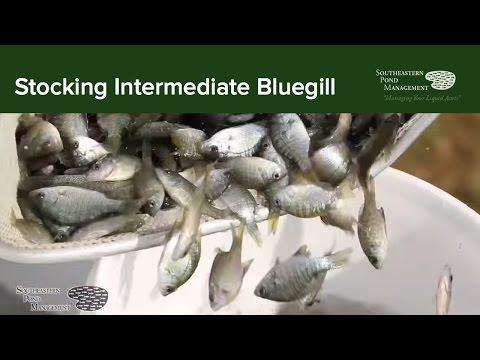 Stocking Intermediate Bluegill
