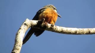 White-Faced Nunbird (Hapaloptila castanea) -  La Linda Mistrato - W Andes Colombia