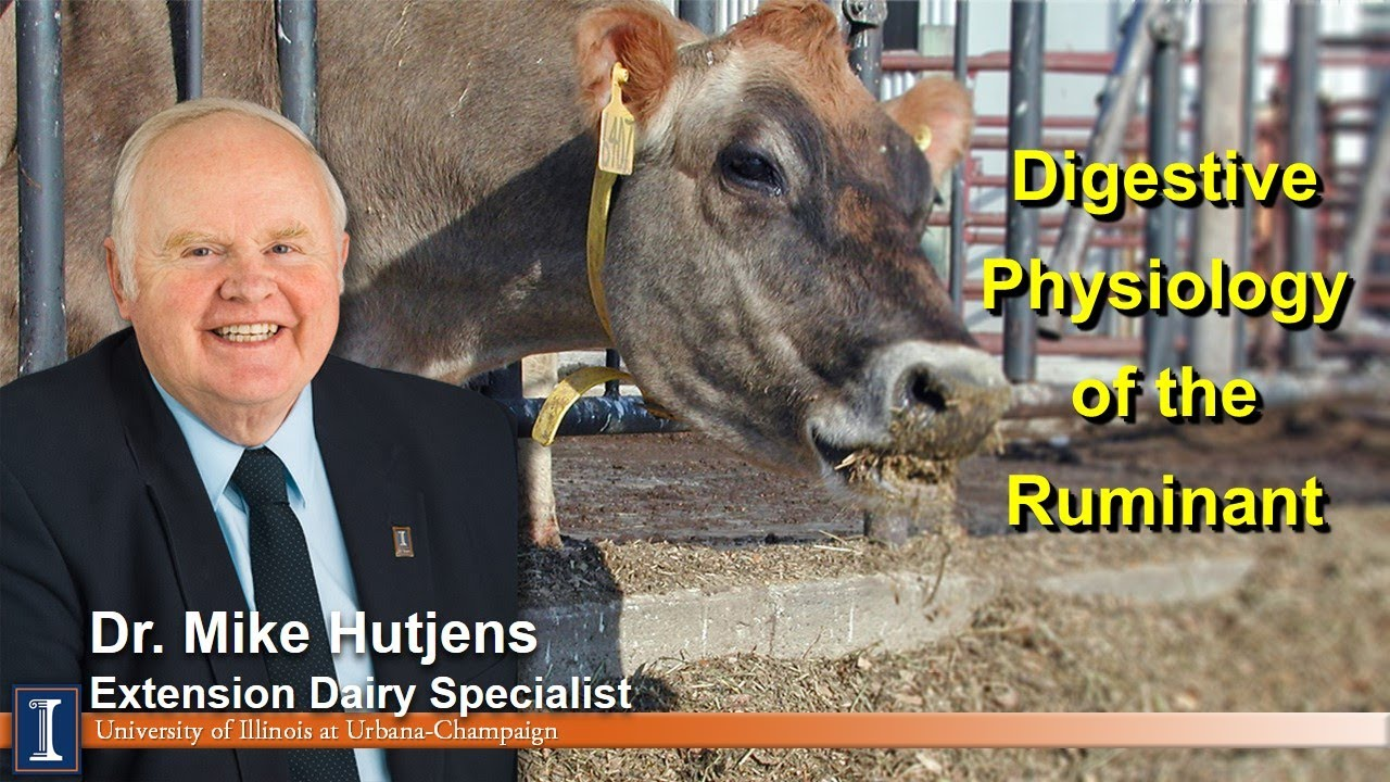 Digestive Physiology of the Ruminant - YouTube