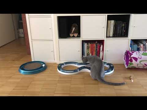 Yossi the Russian blue and the Catit Senses Super Roller circuit