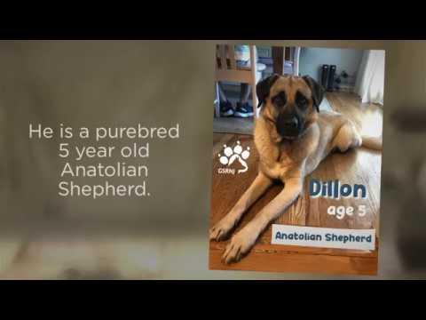 Dillon, an Anatolian Shepherd - German Shepherd Rescue NJ