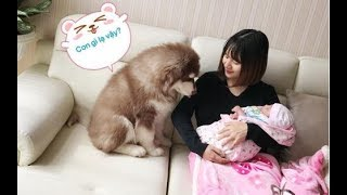 Mật lần đầu gặp em bé mới sinh của Mai==))) Alaska dog meets the baby for the first time