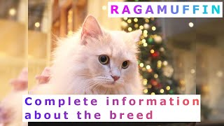 Ragamuffin or Liebling. Pros and Cons, Price, How to choose, Facts, Care, History