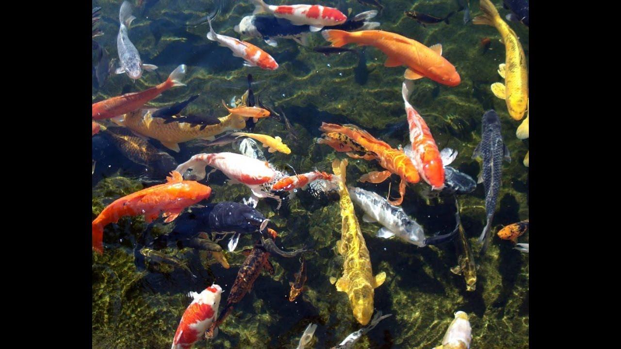 Fish pond in big brewsky bangalore youtube for Big pond fish