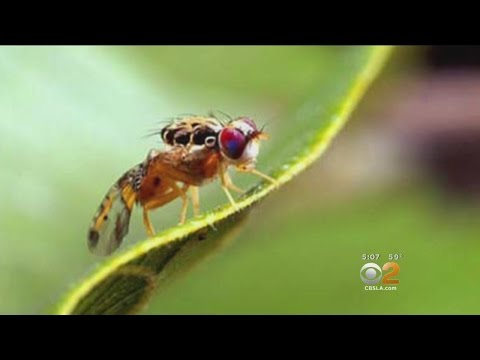Medfly Quarantine In Effect For Parts Of San Fernando Valley