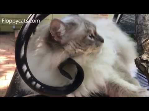 Ragdoll Cat Chiggy Cleaning His Teeth on Wrought Iron - Floppycats
