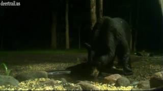 Little Bigger Bear Showed Up 6-22-17