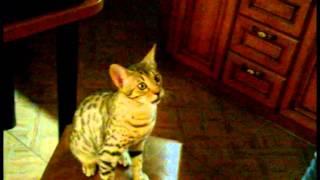 макарошка,еда или игрушка Приколы про кошек смешное видео