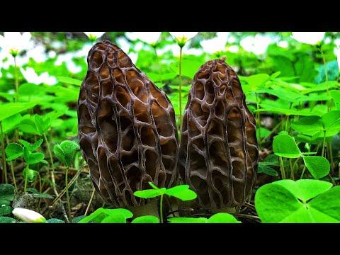 Грибы Сморчки и Строчки собираю в волшебном лесу! Где и как растут сморчки? Готовим и едим сморчок