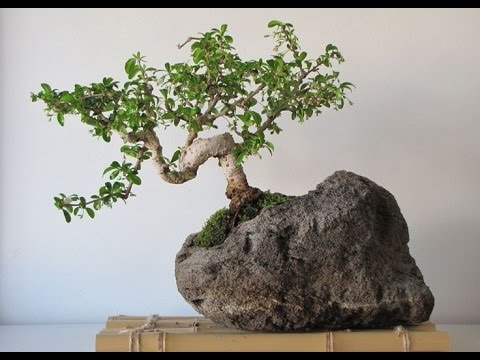 office bonsai. bonsai plants for home and office 2017 i