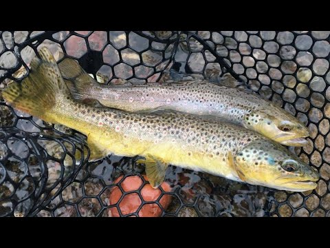 TROUT Fishing The Roaring Fork River - BROWN TROUT!