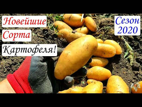 Новейшие сорта картофеля 2020 года
