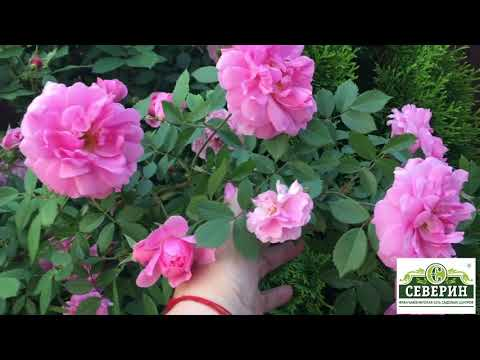 Прогулка по саду Канадские розы Часть 1