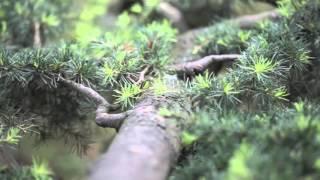 Zedernholzsohlen - Zedernbaum