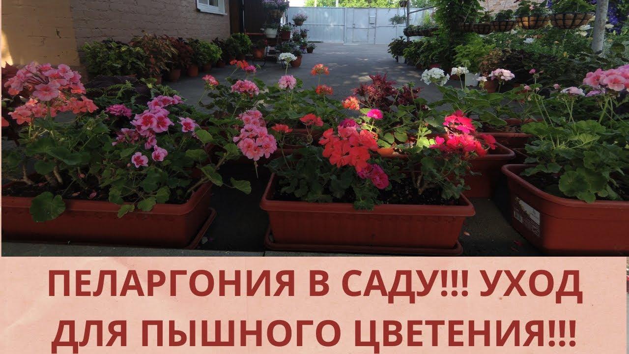 Пеларгония  в саду! Уход для пышного цветения .Полив.Удобрения,Обработка от вредителей! Обзор !