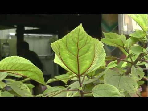 Hawaii Nettle (pipturus albidus), Mamaki. HD.